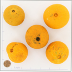 BOTBELLA ORANGE BD