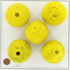BOTBELLA YELLOW