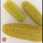 BOTLOOFWH LIME