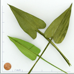 BOTPALM ARROW OLIVE